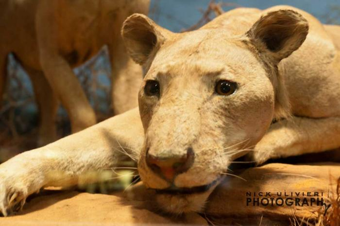 Tsavo Lions at Field Museum, photo credit Nick Ulivieri