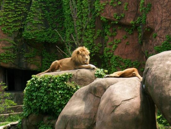 Lions at Lincoln Park Zoo